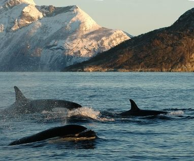 Whales in Alta, Norway